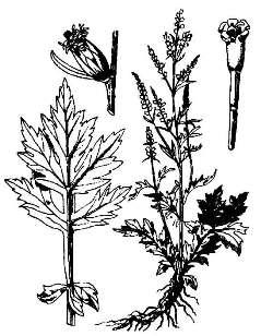 Полынь обыкновенная / Artemisia vulgaris L.